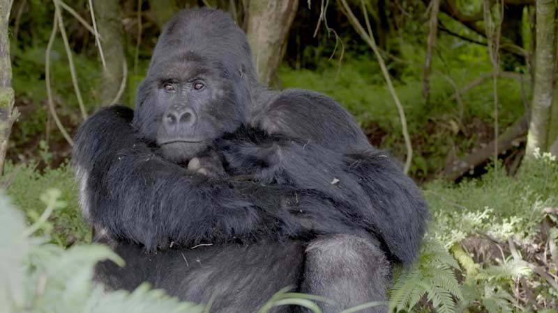 Coming Face to Face with the Last Great Apes