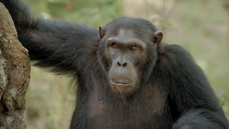 Meet Rurh: A Ugandan guide that works with chimpanzees
